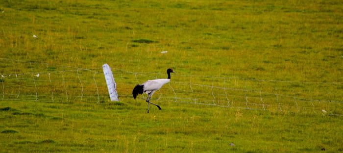 black crane at Machen